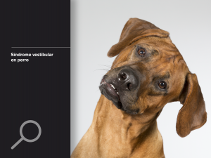 Síndrome vestibular en perro