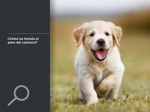 ¿Cómo se hereda el peso del cachorro?