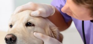 Vet examining dog's eye