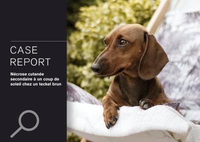 CASE REPORT: Nécrose cutanée secondaire à un coup de soleil chez un teckel brun