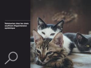 Telmisartan chez les chats souffrant d'hypertension systémique
